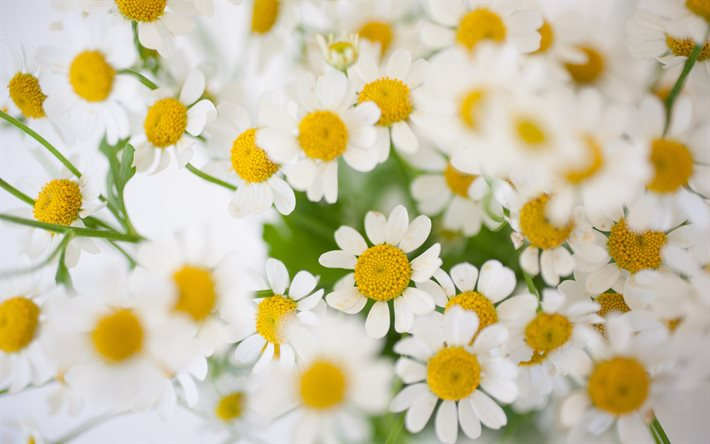daisies, wildflowers, background with daisies, spring flowers, many daisies, floral background