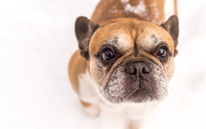 French Bulldog, cute animals, brown puppy, dog on a white background, Bulldogs, dogs