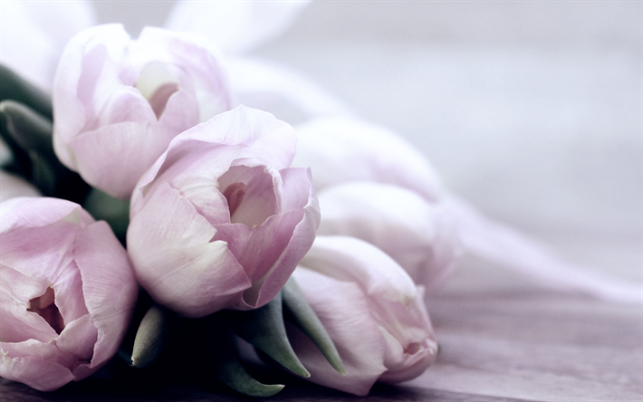 pink tulips, beautiful flowers, spring flowers, pink floral background
