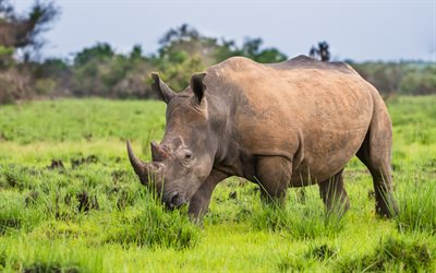 rhino, african animals, wildlife, africa, wild animals, rhinos