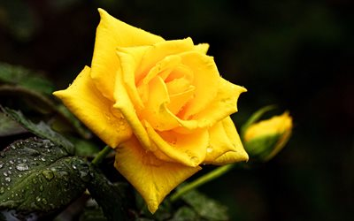 yellow rose, 4k, bokeh, yellow flowers, dew, beautiful flowers, yellow buds, roses