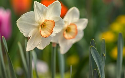daffodils, white beautiful flowers, background with daffodils, wildflowers