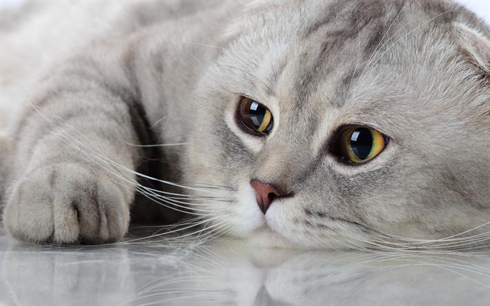 Favorito Scarica sfondi Gatto Scottish Fold, muso, animali domestici, gatto  ZA31