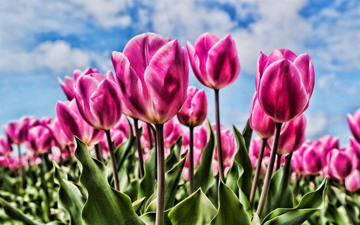 pink tulips, close-up, bokeh, HDR, summer, field of flowers, tulips, pink flowers
