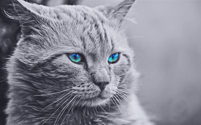 Maine Coon, 4k, monochrome, cat with blue eyes, cute animals, gray Maine Coon, pets, cats, domestic cats, fluffy cat, Maine Coon Cat