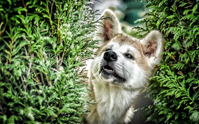 Shiba Inu, close-up, bokeh, forest, cute dog, pets, dogs, Shiba Inu Dog