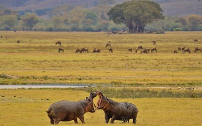 hippos, wildlife, wild animals, African animals, Africa, hippos battle