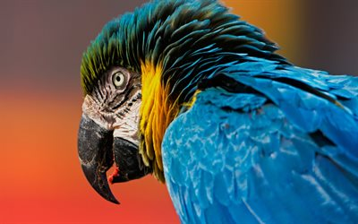 Macaw, close-up, parrots, wildlife, colorful parrots, Ara