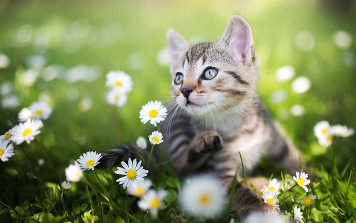 Kitten with Daisies