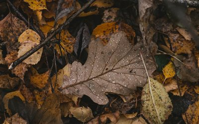 fallen leaf, autumn, dry leaves, drops of dew