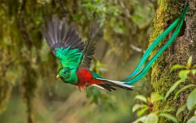Resplendent quetzal, beautiful bird, rainforest, Costa Rica, South America