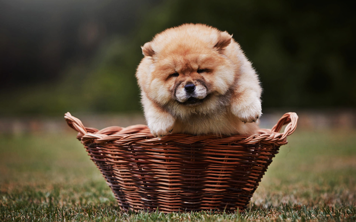 Chow Chow, close-up, puppy, furry dog, chow chow in basket, small chow chow, pets, lawn, Songshi Quan, dogs, Chow Chow Dog