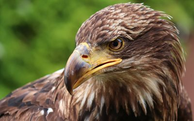 Eagle, 4k, close-up, wildlife, bird of prey, eagle look, bokeh, predators, birds, Accipitridae