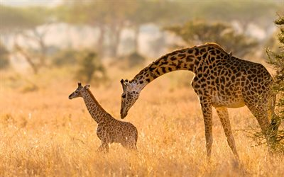 little giraffe, wildlife, giraffe with mom, Africa, giraffes, wild animals