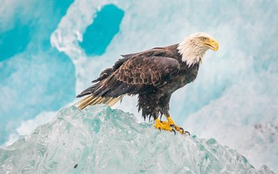 eagle, 4K, birds, iceberg, wildlife, predators, Alaska, USA