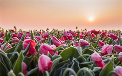 tulips, morning, pink tulips, tulip field, sunrise, wildflowers, beautiful tulips