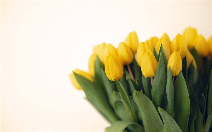 yellow tulips, tulip bouquet, spring flowers, background with yellow tulips, spring, tulips