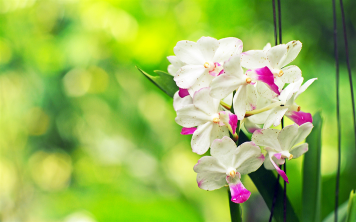 Download wallpapers white orchid, tropical flowers, beautiful white ...