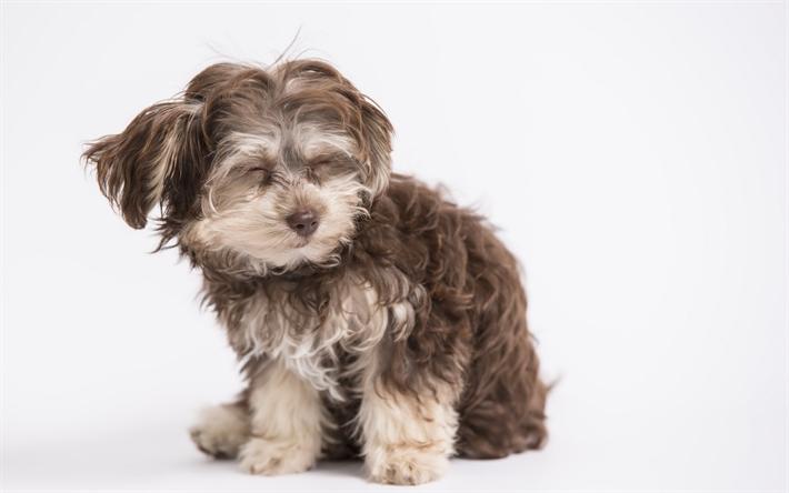 herunterladen hintergrundbild norwich terrier kleine flauschige terrier gl cklich hund. Black Bedroom Furniture Sets. Home Design Ideas