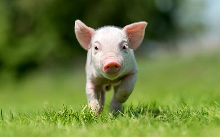 herunterladen hintergrundbild kleine rosa schwein lustige