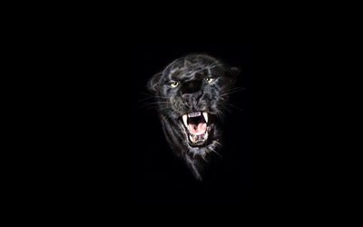 black panther, predator, panther on a black background, wild animals, wild cats, panthers