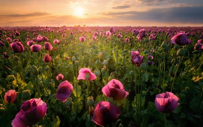 pink poppies, evening, sunset, wildflowers, purple poppies, beautiful flowers, field with flowers