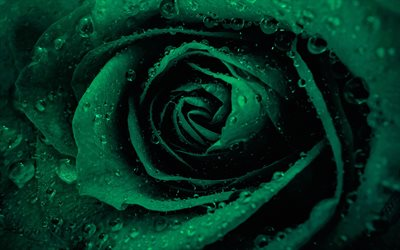 Green rose, rosebud, green flowers, roses