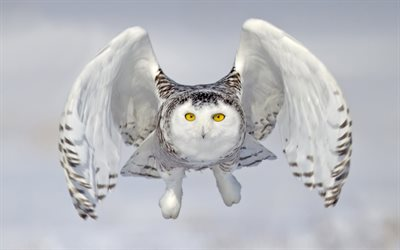 White owl, close-up, flying bird, Snowy Owl, owl, Bubo scandiacus