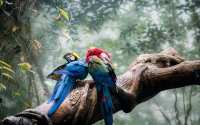 Macaw, jungle, bokeh, parrots, branch, couple, colorful parrots, Ara