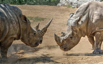 rhinos, wildlife, wild animals, battle of rhinos, Africa, rhino