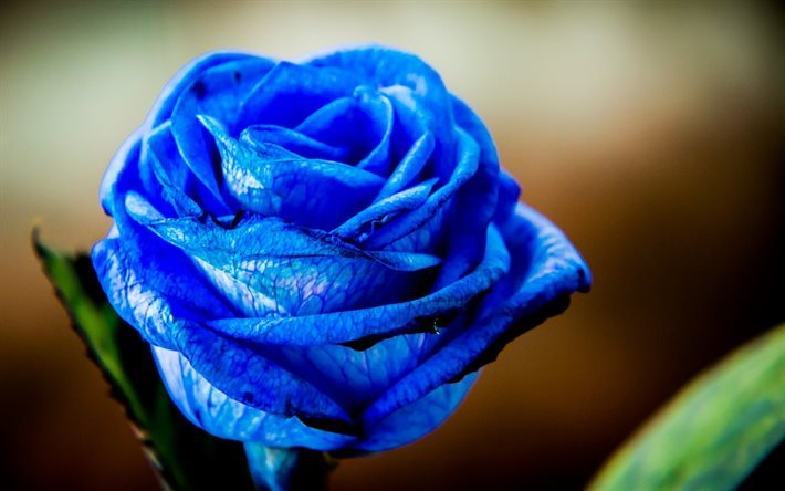 blue rose, butoh roses, blue flowers, roses