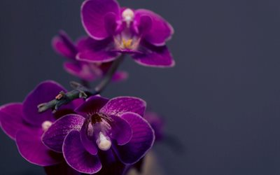 violetti orkidea, branch, orkideat, phalaenopsis
