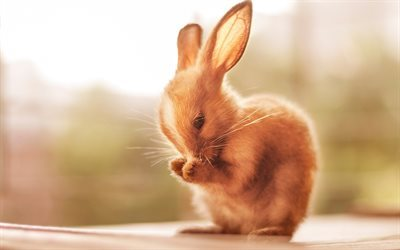 bunny, cute animal, little bunny, brown rabbit