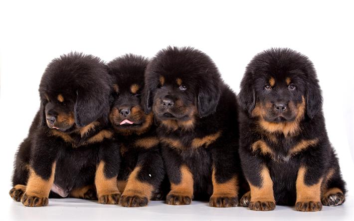 Download Wallpapers Tibetan Mastiff 4k Puppies Dogs