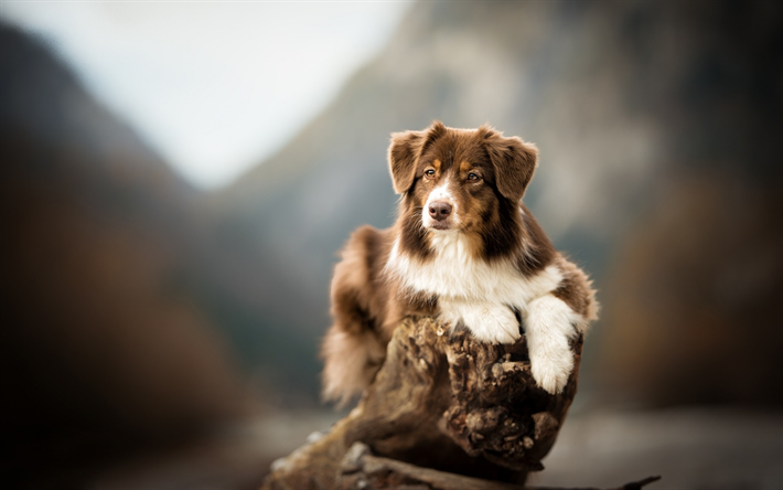 Australian Shepherd Dog, Dog, Aussie, pets, brown dog