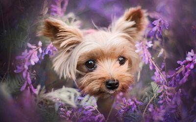 Yorkshire Terrier, lavender, Yorkie, bokeh, dogs, cute animals, fluffy dog, pets, Yorkshire Terrier Dog