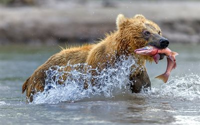 grizzly, bear, fishing, salmon, river, predators