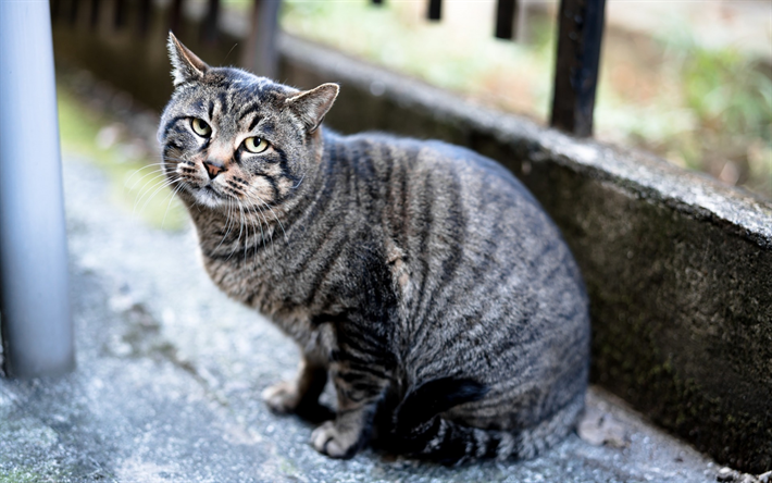 Télécharger fonds d'écran gris tabby chat, chats, chats de race, les  animaux mignons pour le bureau libre. Photos de bureau libre