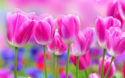 pink tulips, pink spring flowers, tulips, floral background, background with pink tulips, spring