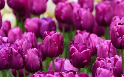 purple tulips, purple floral background, tulips, spring flowers, background with tulips