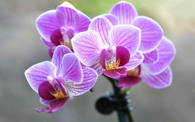 Orchid, pink orchid, beautiful flower, pink flowers