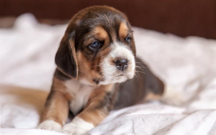 Herunterladen hintergrundbild beagle welpen traurig for Minimalismus haustiere