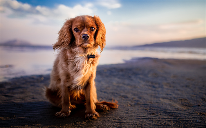 Download Wallpapers Cavalier King Charles Spaniel 4k Coast Pets Dogs Puppy Cute Animals Cavalier King Charles Spaniel Dog For Desktop Free Pictures For Desktop Free