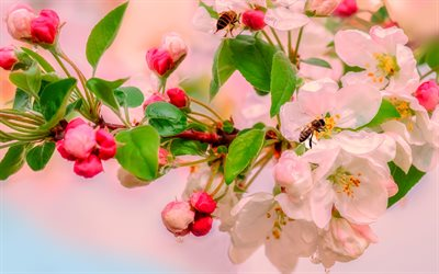 flowering apple trees, spring, pink flowers, apple blossom, beautiful flowers