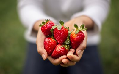 strawberries in hands, berries, strawberries, healthy fruits, strawberry season, berries in hands