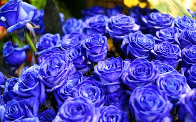blue roses, macro, blue flowers, bokeh, roses, buds, blue roses bouquet, beautiful flowers, backgrounds with flowers, blue buds