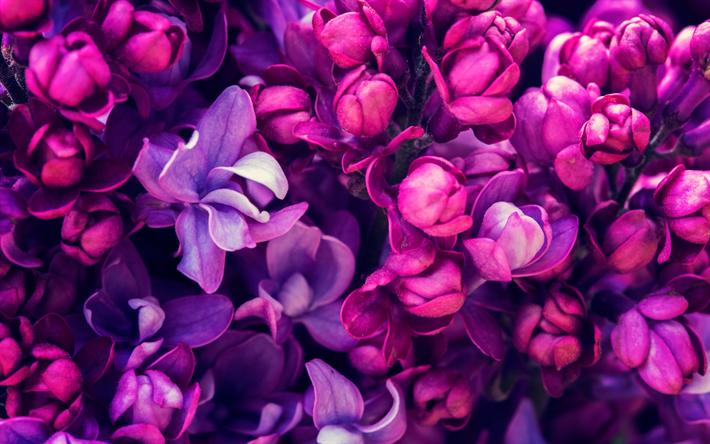 Scarica Sfondi Lilla Primavera Close Up Fiori Viola Per Desktop