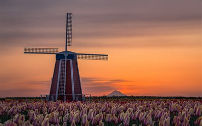 wooden mill, Oregon, pink tulips, mill, evening, sunset, wildflowers, mill among tulips, USA
