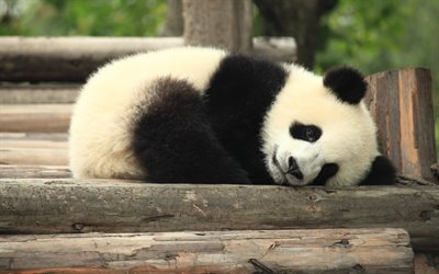 sleeping panda, cute animals, panda, little bear cub, sad panda, sad concepts, pandas