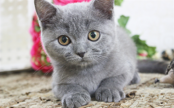 british short hair kittens - 710×444